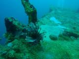 Lionfish and anemone, Akitsushima