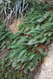 A rare sight in the desert, water-thirsty ferns