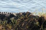 Nile Crocodile, Chobe River