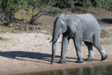 Elephants love to come to the Chobe River in the afternoon