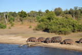 Hippos heading for the water, Chobe National Park