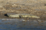 Crocodile on the banks of the Chobe River