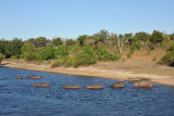 Hippos entering the river, Chobe National Park
