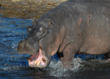 The hippo yawn is an aggressive display