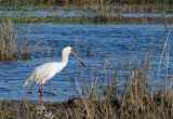 African Spoonbill (Platalea alba) wading in the Chobe River, Botswana
