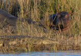 Hippo and crocodile resting together along the Chobe River, each unconcerned about the other