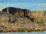 Hippos on a small island in the Chobe River