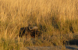 Buffalo resting in the tall grass on an island in the Chobe River