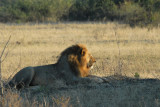 Driver got a call on the radio that a big male lion had been found