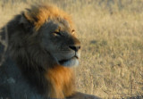 King of the Beasts, a large male lion sunning himself on a cold morning