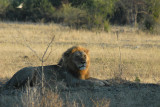 Big male lion, Chobe National Park