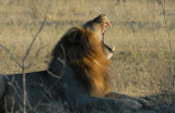 Lion yawn - the sleep something like 20 hours a day