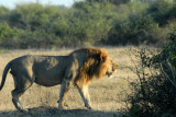 Lion walking off into the bush... enough publicity for one morning