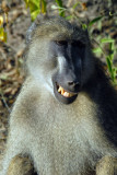 Big male baboon smiling for the camera