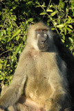 The baboon species found in Chobe - Chacma or Yellow