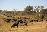 A large herd of buffalo, Chobe National Park