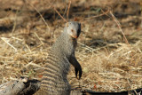 Banded mongoose, Chobe National Park