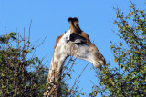 Giraffe browsing the top of a large bush, Chobe National Park