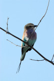Lilac-breasted roller (Coracias caudatus), the National Bird of Botswana