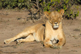 Female lion resting in the sun, Chobe National Park