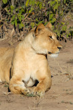Female lion, Chobe National Park