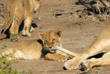 Cub holding on to lioness' tail as the other cub gets bored and wanders off