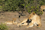 Lioness and cub, Chobe National Park