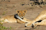 Lion cub with mother's tail, Chobe National Park