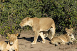 The two big lionesses and the grown cub, Chobe National Park