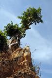 Tree growing on a stupa, Nyaung Ohak
