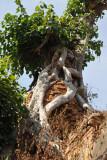 The tree looks something like a Strangler Fig
