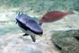 Remora (Sucker Fish), Sharjah Aquarium