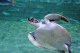 Green Sea Turtle, Sharjah Aquarium