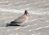 Laughing Dove (Spilopelia senegalensis) in the parking lot of the Al Ain Zoo
