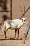 Arabian Oryx, Al Ain Wildlife Park