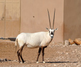 Arabian Oryx - Al Ain Wildlife Park