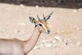 Sand Gazelle - Al Ain Wildlife Park