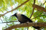 Crow, Dar es Salaam