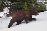 Bear 65