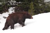Bear 375