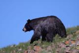 Bear 86
