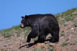 Bear 415