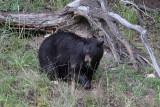 Bear 95