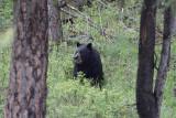 Bear 155