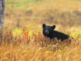 Bear 220