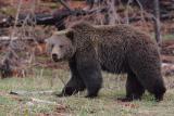 Bear 40
