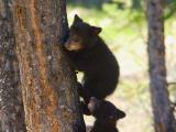 Bear 120