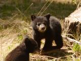 Bear 330