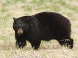 Bear 130