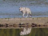 Wolf  245